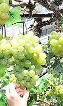 Korean grape and wine varietals